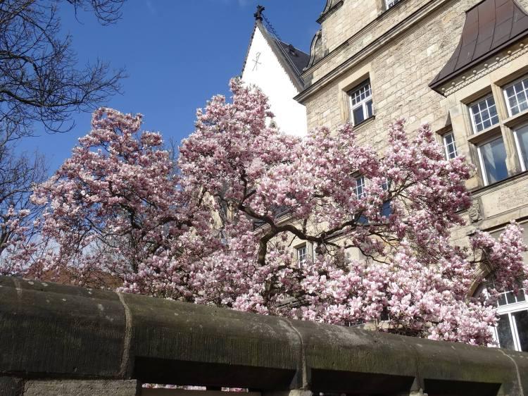 Frühling in Leipzig Magnolienblüten an der ehemaligen Thomasschule jetzt Superintendentur!